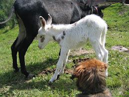 Martino l'asino albino