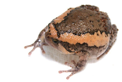 Catanduanes Narrow Mouthed Frog