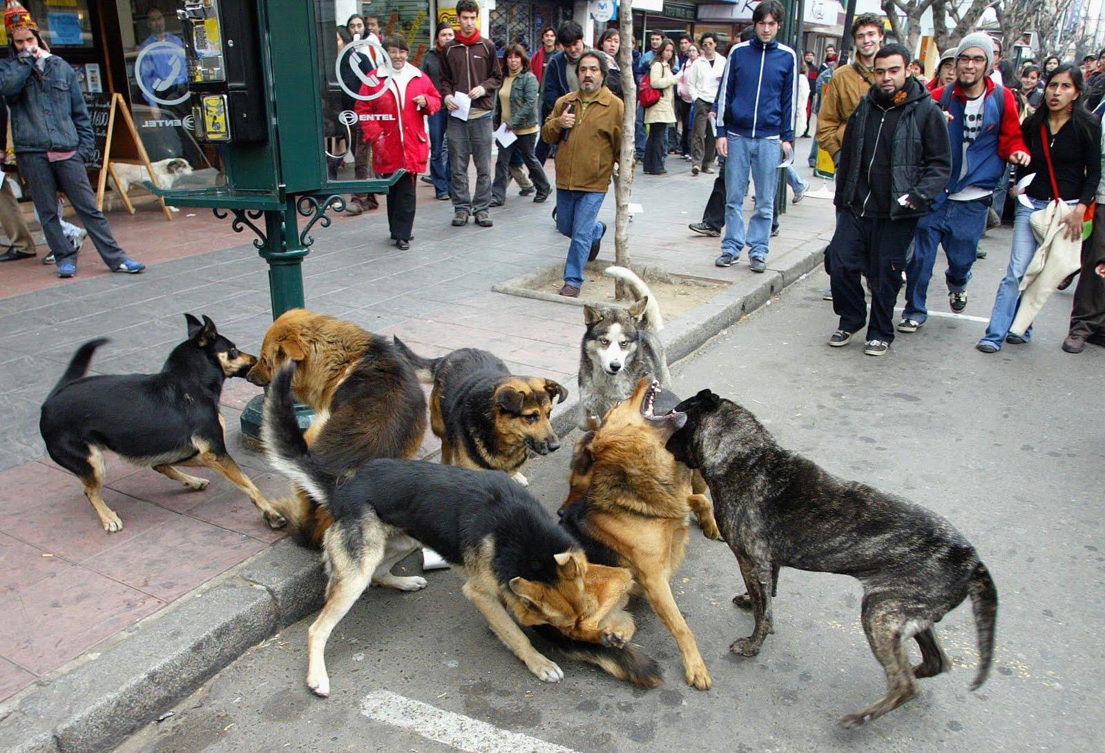 Sobrepoblación de Perros Vagos en Chile ¿Cuál es la solución?