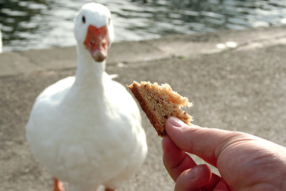 [duck+bread]