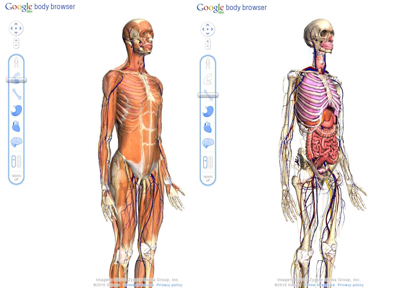 Attractive Google Anatomy Body Browser Adornment - Human Anatomy ...