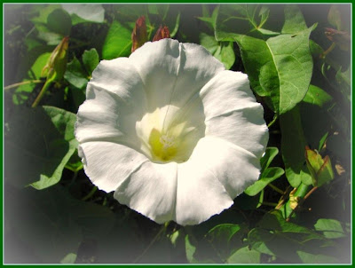 Body soul and spirit friday flowers whites these gardens are designed to be enjoyed in the dim light of dusk and night time white flowers are ideal for moon gardens mightylinksfo