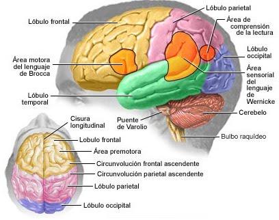 [cerebro1.jpg]