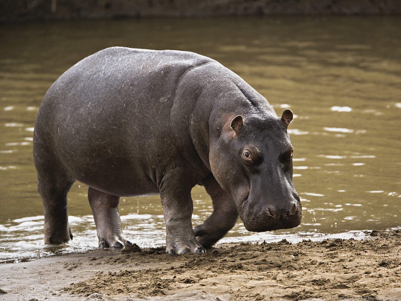 how long do hippos live