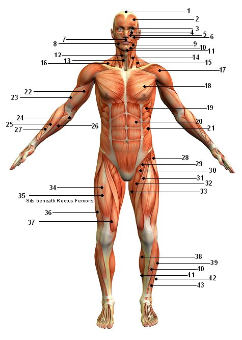 Human Body Muscular System Diagram