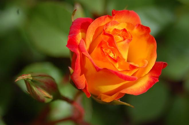Una rosa para todas las madres