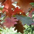 Pokok oak