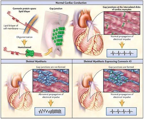 Biología Médica: Contracción del Músculo Cardíaco: Las uniones GAP (2/2)