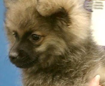 Pomeranian pitbull mix - photo#14