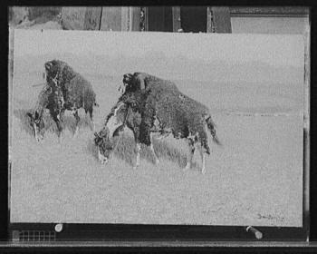 Indios disfrazados de búfalos