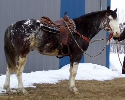 Caballo cruzado Quarter Horse y Paint Horse