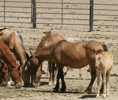 Mustangs en corrales mal alimentados
