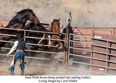 Mustangs aterrorizados en el corral