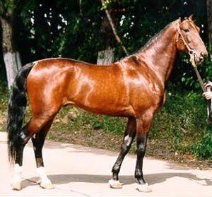 Russian Trotter Horse / Trotador Ruso
