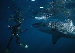 Merülés a nagy fehér cápával