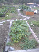 Middle stage of 2010 garden, laying a steping path