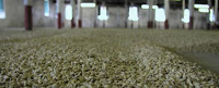 the malting floor at springbank distillery