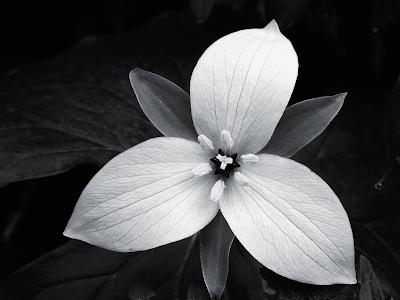 White Wallpaper on Black And White Flower Wallpaper