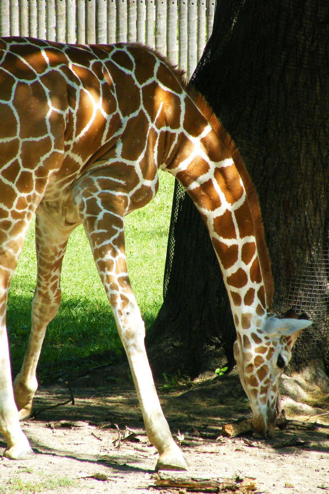 artteajannell baby giraffe and family