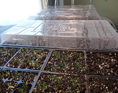 Leek and Onion Seedlings 1 Week After Planting