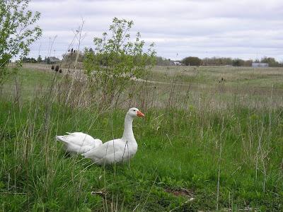 Stone Meadow Ducks