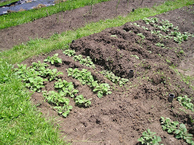 Potatoes Growing in Trenches