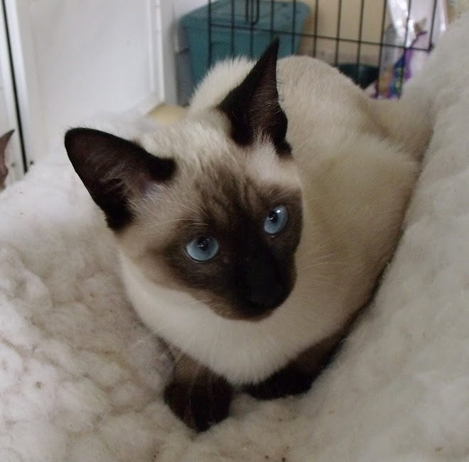 OUR NEW SEAL PT SIAMESE  SIRE . SIMEON