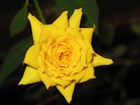 nov rose