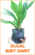 palm oil seeds bibit sawit 1