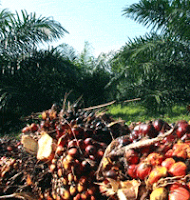 Sawit cooking Palm Oil Tree of the Crude palm oil futures on Malaysia&#39;s derivatives exchange ended higher Monday despite a drop in palm oil exports last month as strong gains in metals and crude oil boosted sentiment