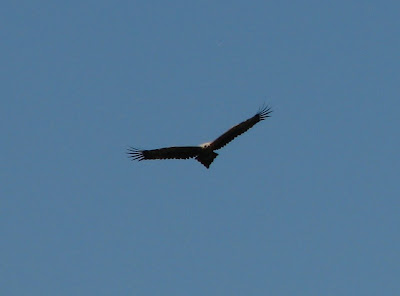 Wedge Tail Eagle after black saturday bushfire, whittlesea