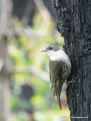 White-throated Treecreeper, Bruces Creek, Whittlesea. Bird Recovery after bushfire.