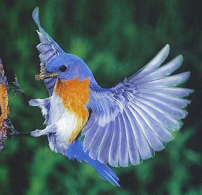 ... anis merah ciri-ciri burung cucak ijo tips memilih