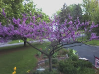 Redbud blooms in April