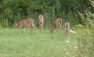 four white-tail deer, grazing, near Fairport NY (c)2008 jcb
