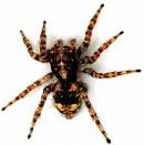 big hairy scary spider - courtesy of AdamsPestControl.com