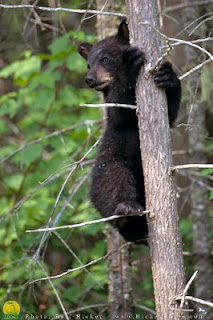 black bear cub in a tree, courtesy of Tuckamore Lodge