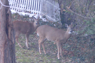 two deer watch us watching them
