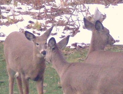 three deer elude hunters and campers by hiding in Jim's backyard