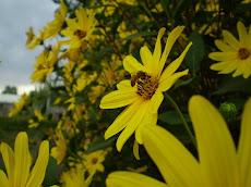 Topinambur una interesante flor del final del verano