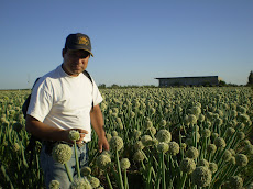 Polinizando Cebolla en Lavalle - Mendoza