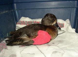 Perky the duck