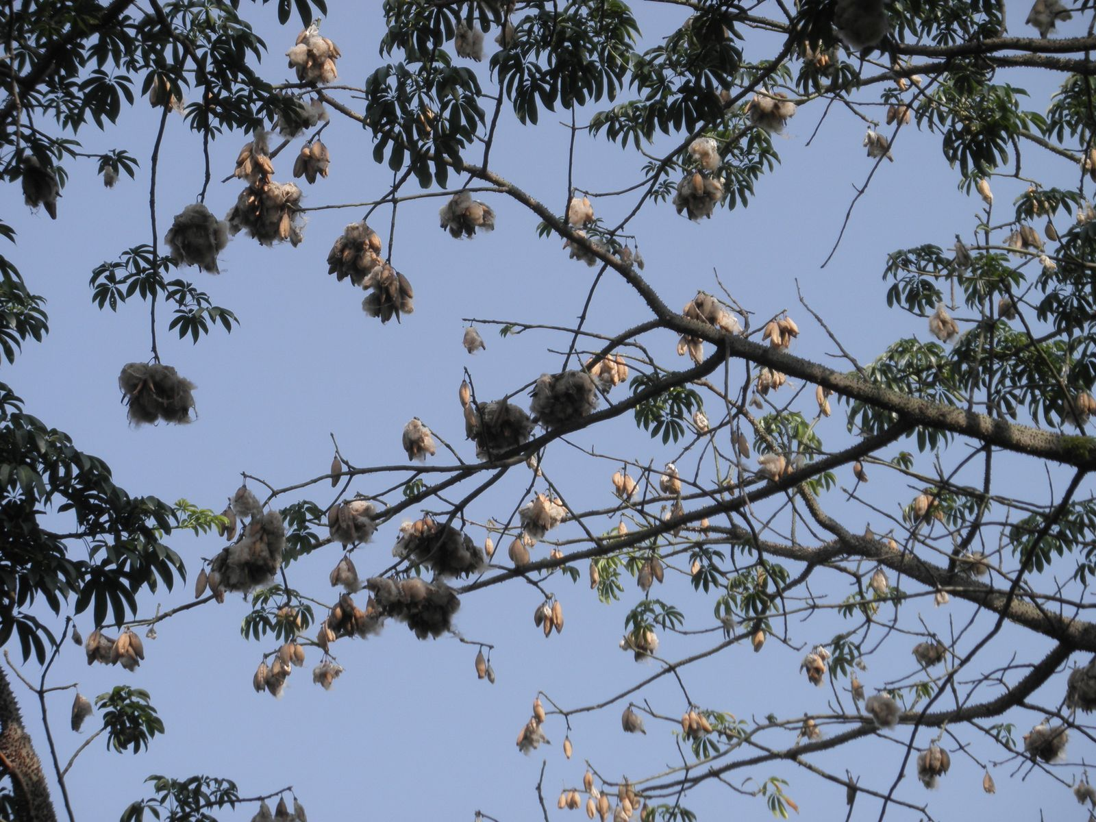 Trees Plants Amp More Bombax Scopulorum The White Silk Cotton Tree