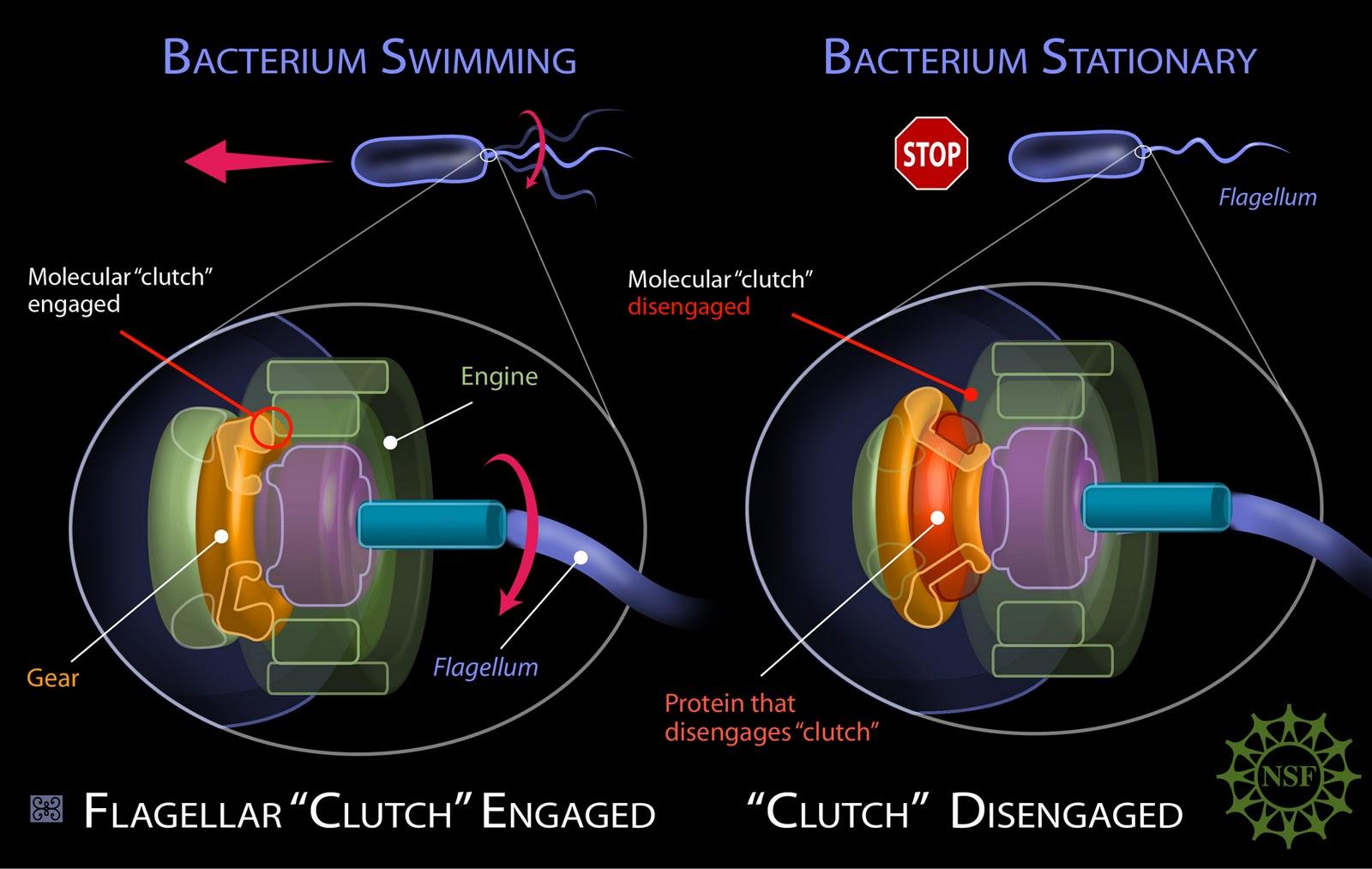 Flagelo bacteriano in situ: Darwin não explica a origem e nem a evolução disso!!!  Flagellum+-+Zina+Deretsky,+National+Science+Foundation