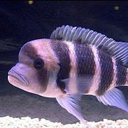 peces domesticos