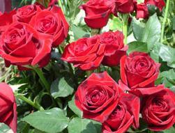El jard n de mis rosas las rosas rojas for Plantas ornamentales del peru