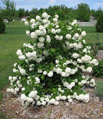 Snowball bush 2009