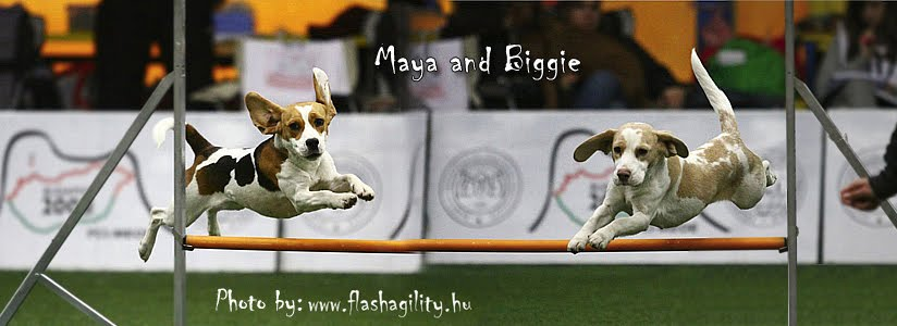My beagles' agility life