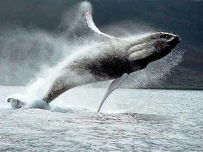 Guizzo di balena - Humpback breaking