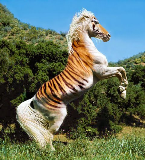 Tiger horse breed - photo#1